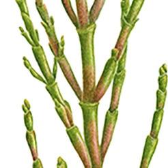 Salicornia Herbácea